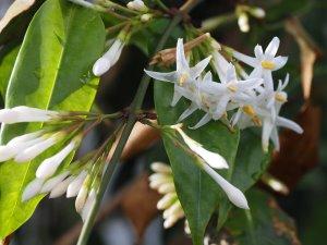 Jasminum duclouxii