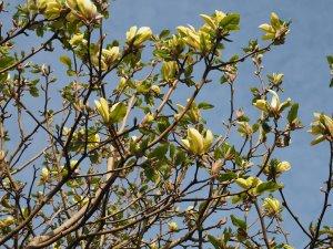 Magnolia 'Hot Flash'