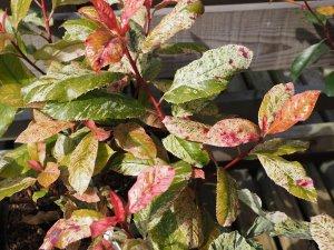 Photinia serrata 'Pink Crispy'