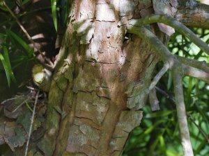 Podocarpus hilanjianus