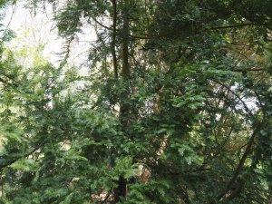 Primnopitys ferrugineus