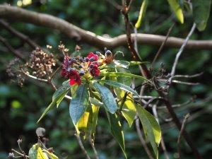Rhododendron genestrianum