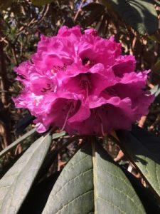 'Hodges Pink Argenteum'