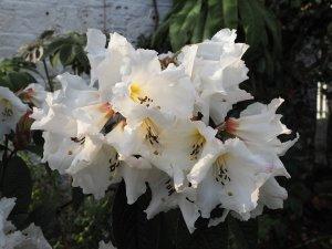 Rhododendron nuttallii x Rhododendron edgeworthii