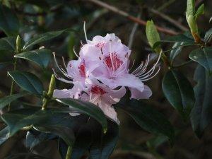 'Caerhays Pink' form