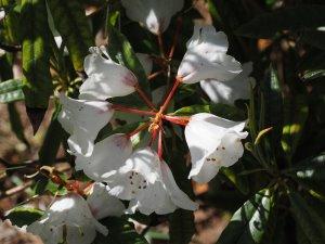 Rhododendron araiophyllum