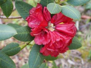 Rhododendron mengtszense aff