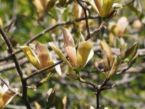 Magnolia 'Stellar Acclaim'