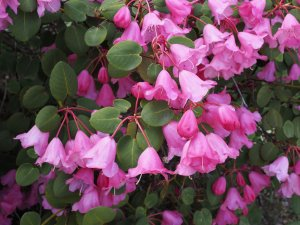 Rhododendron orbiculare