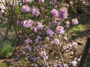 Rhododendron xiaoxidongese