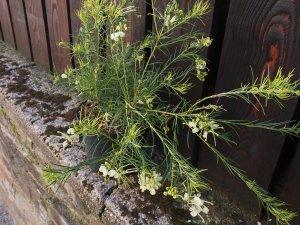 This is Grevillea rosmarinifolia 'Jean O'Neil'