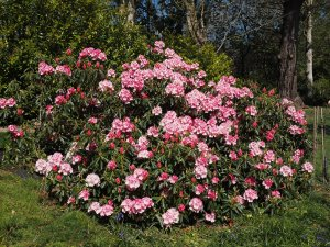 Rhododendron 'Broughtonii'