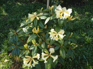 Rhododendron 'Floral Sun'