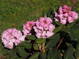 Rhododendron platypodum