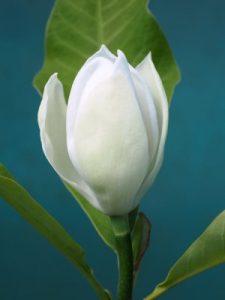 Magnolia x wieseneri 'Aashild Kalleberg'