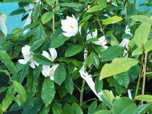 Michelia 'Fairy Cream'