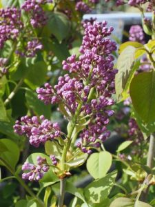 Syringa vulgaris 'Madame Antoine Buchner'
