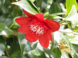 Camellia 'Bob's Tinsie'