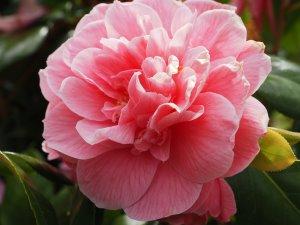 Camellia 'Cecille Brunazzi'