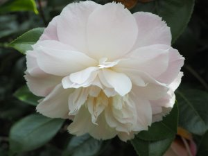 Camellia 'Julia Hamiter'