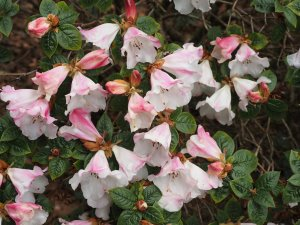 Rhododendron 'Princess Alice'