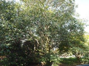 Quercus lamellosa