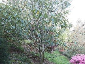 Quercus oxyodon