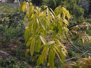 Quercus stenophylloides
