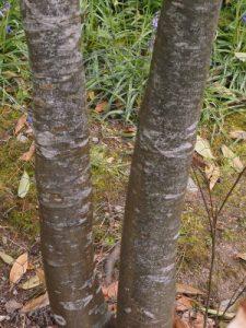 Quercus gilva