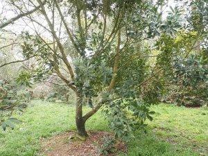 Quercus glabra