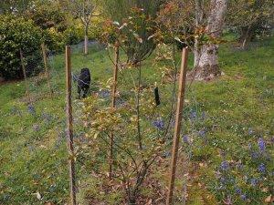 Quercus morii