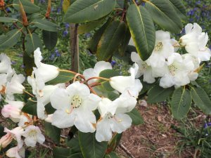 Rhododendron 'Penjerrick'