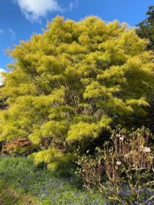 Acer palmatum 'Scolopendrifolium'