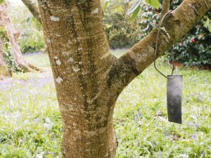 Quercus kiukiangensis