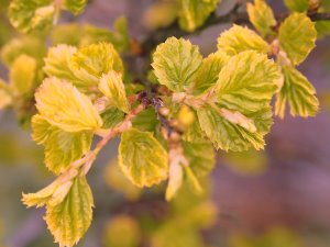 Carpinus orientalis 'Perdica'