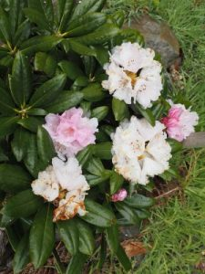 Rhododendron degronianum hept. 'Oki Koki'