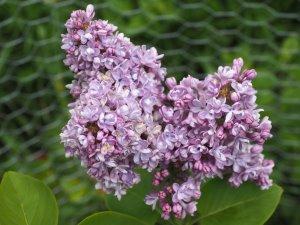 Syringa vulgaris 'Carpe Diem'