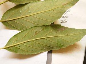 underside of the leaves