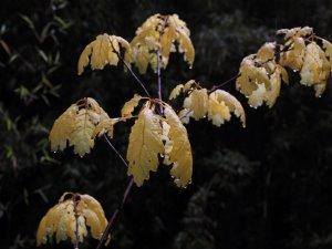 Quercus rubra 'Aurea'