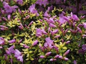 Azalea 'Caerhays Lavender'