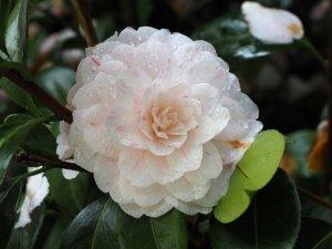 Camellia 'Optima'