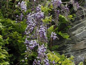 Wisteria floribunda 'Black Dragon'