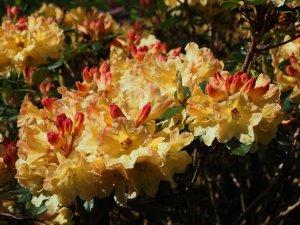 Rhododendron 'Goldsworth's Yellow'