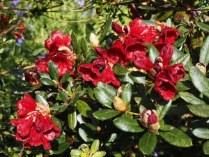 Rhododendron 'Ruby Hart'