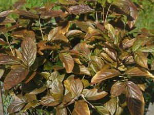 Staphylea colchica 'Black Beauty'