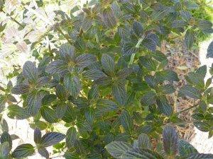 Viburnum hoangliense
