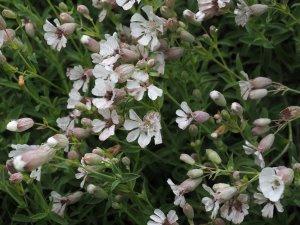 Silene vulgaris ssp. vulgaris