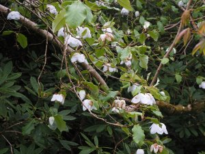 Magnolia sieboldii subsp. sinensis
