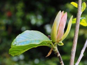Magnolia 'Moonspire'