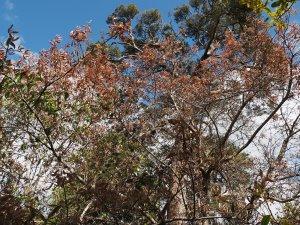 Photinia beauvardiana